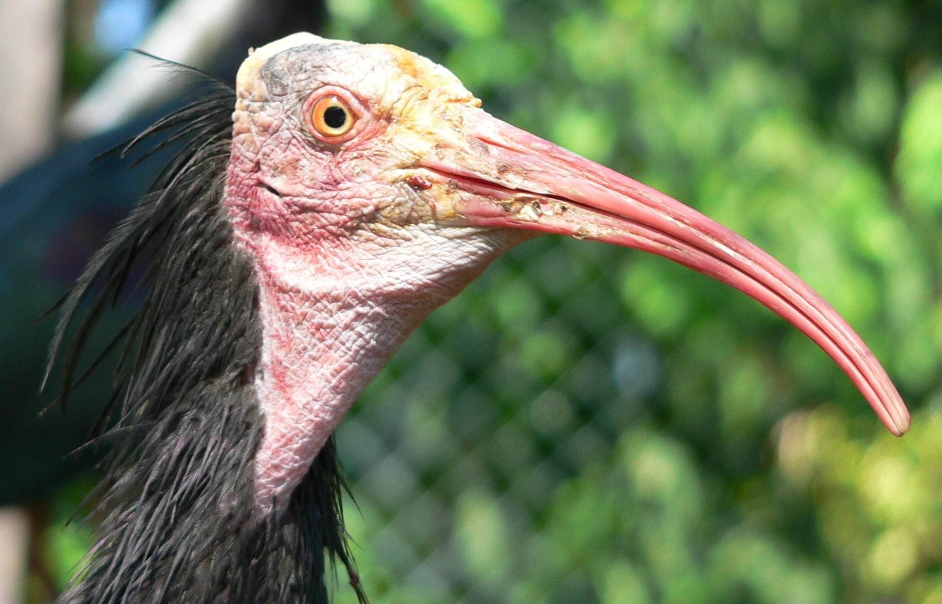 """Ibis: un pájaro egipcio sagrado y feo pero muy """"limpio ..."""