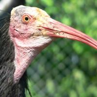 """Ibis: un pájaro egipcio sagrado y feo pero muy """"limpio"""""""