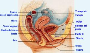 genitales internos femeninos