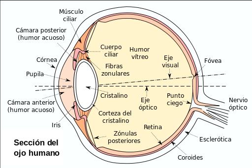anatomía ojo humano