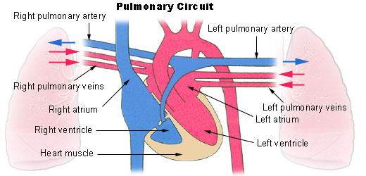 Illu_pulmonary_circuit (1)