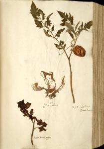 Naturalis_Biodiversity_Center_-_Solanum_lycopersicum_var._lycopersicum_-_old_tomato_herbarium_sheet