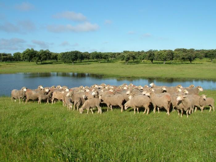 Ovejas merinas pastando en la dehesa de Extremadura