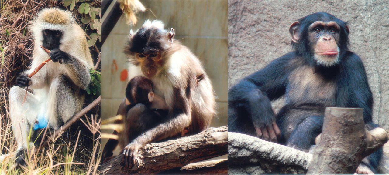 hiv primates