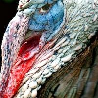 ... y un pavo pudo convertirse en el símbolo nacional de los EE. UU.